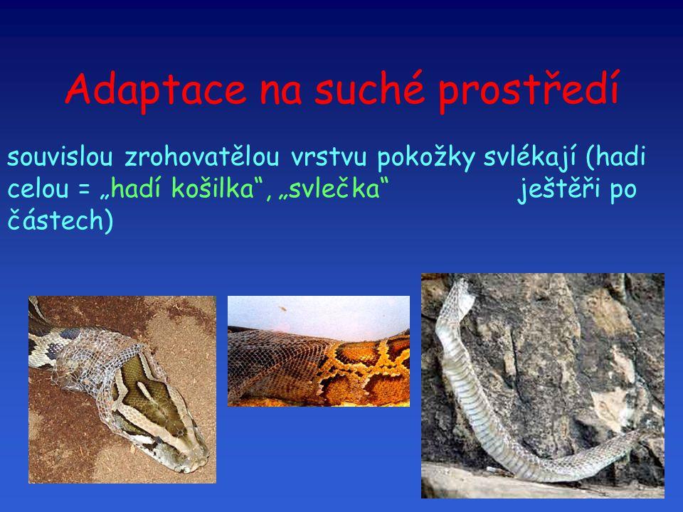 """Adaptace na suché prostředí souvislou zrohovatělou vrstvu pokožky svlékají (hadi celou = """"hadí košilka"""", """"svlečka"""" ještěři po částech) """