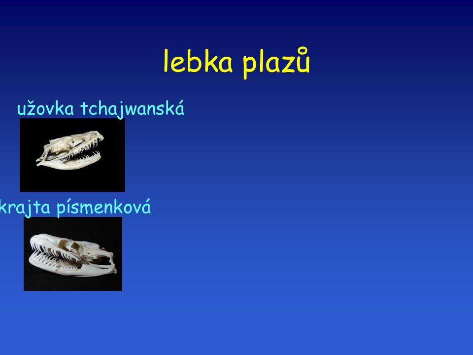 lebka plazů užovka tchajwanská krajta písmenková