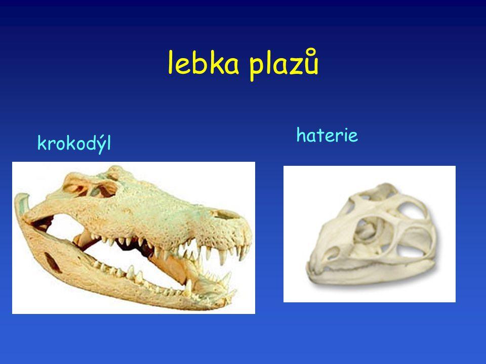 lebka plazů krokodýl haterie
