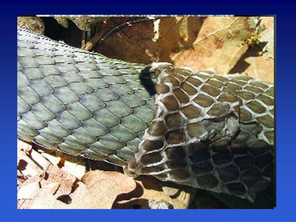 Adaptace na suché prostředí –zrohovatělá vícevrstevná pokožka (proti ztrátám vody)  šupiny ještěři, hadi štítky
