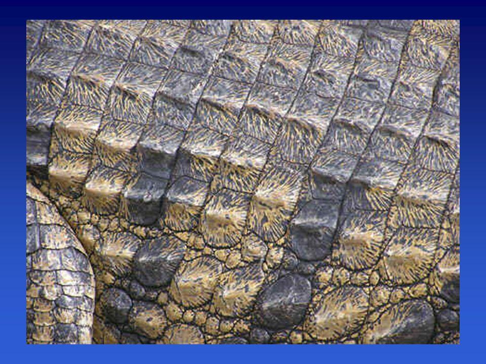 Adaptace na suché prostředí –zrohovatělá vícevrstevná pokožka (proti ztrátám vody)  šupiny ještěři, hadi štítky krokodýli krunýř