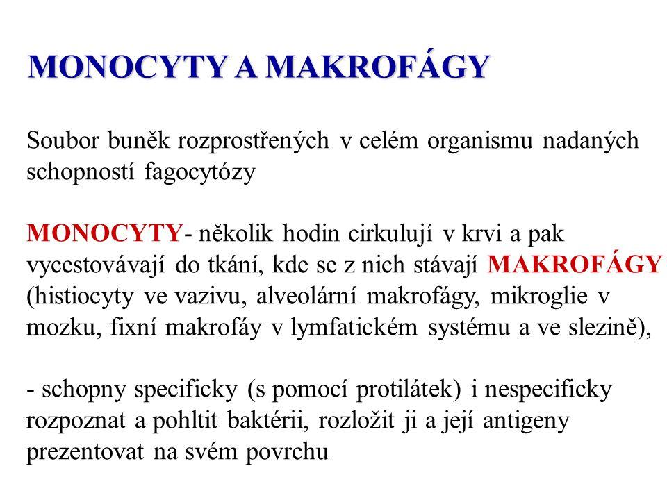 MONOCYTY A MAKROFÁGY Soubor buněk rozprostřených v celém organismu nadaných schopností fagocytózy MONOCYTY- několik hodin cirkulují v krvi a pak vycestovávají do tkání, kde se z nich stávají MAKROFÁGY (histiocyty ve vazivu, alveolární makrofágy, mikroglie v mozku, fixní makrofáy v lymfatickém systému a ve slezině), - schopny specificky (s pomocí protilátek) i nespecificky rozpoznat a pohltit baktérii, rozložit ji a její antigeny prezentovat na svém povrchu