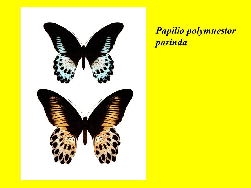 Papilio polymnestor parinda