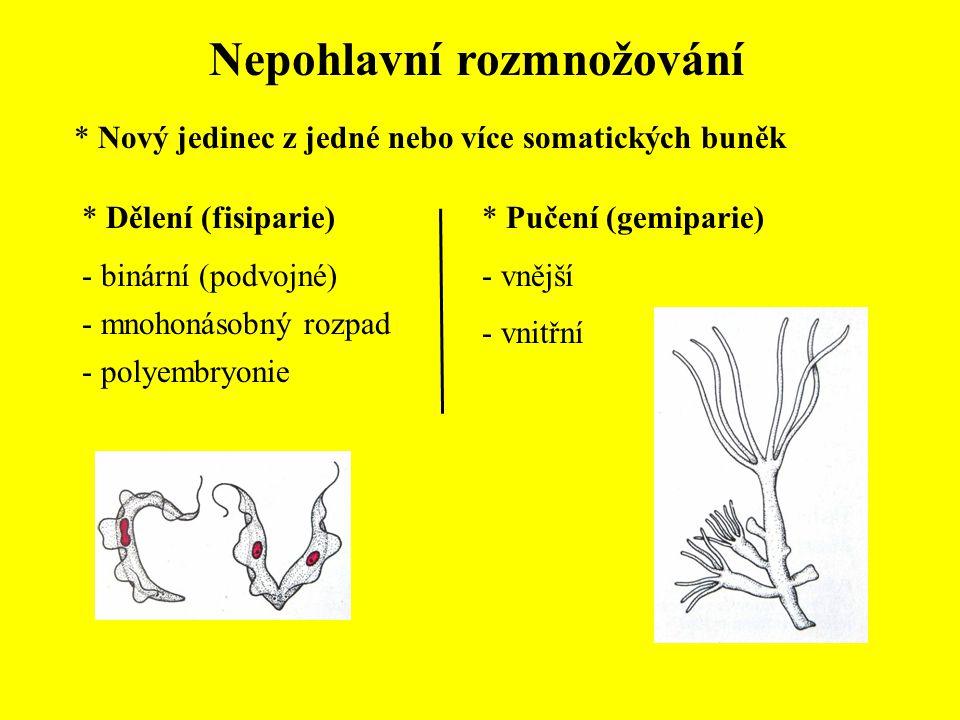 Nepohlavní rozmnožování * Nový jedinec z jedné nebo více somatických buněk * Dělení (fisiparie) - binární (podvojné) - mnohonásobný rozpad - polyembry