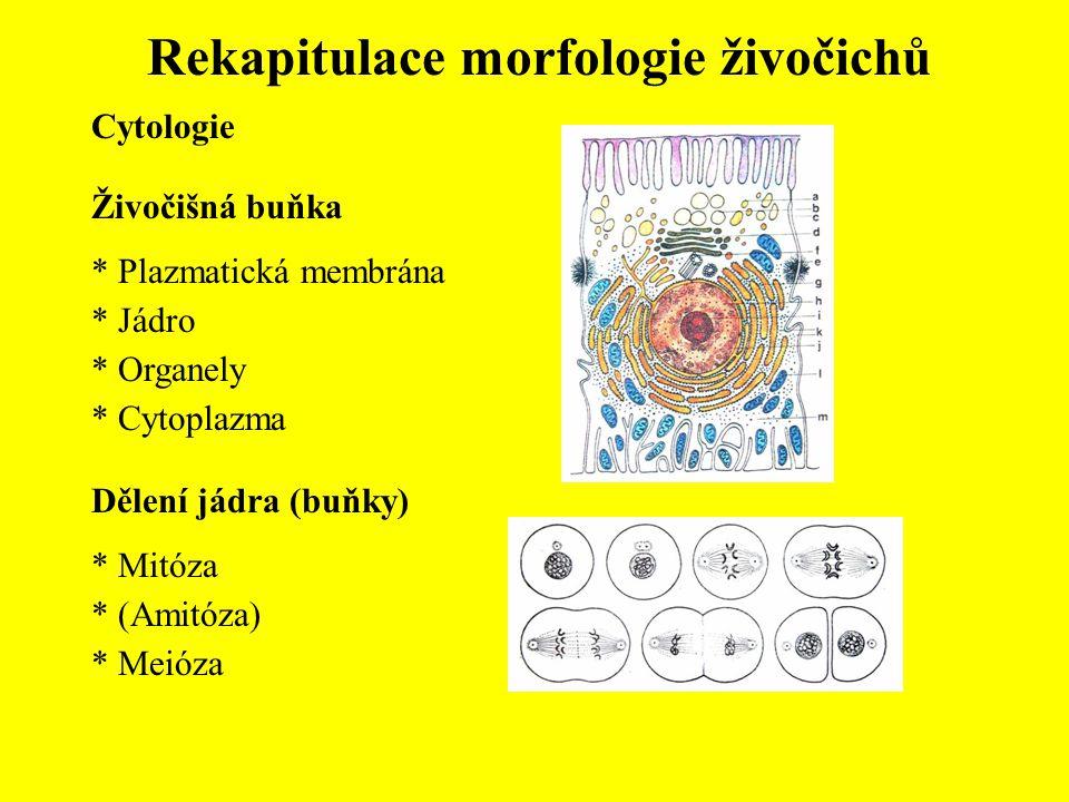 Rekapitulace morfologie živočichů Živočišná buňka * Plazmatická membrána * Jádro * Organely * Cytoplazma Cytologie Dělení jádra (buňky) * Mitóza * (Am