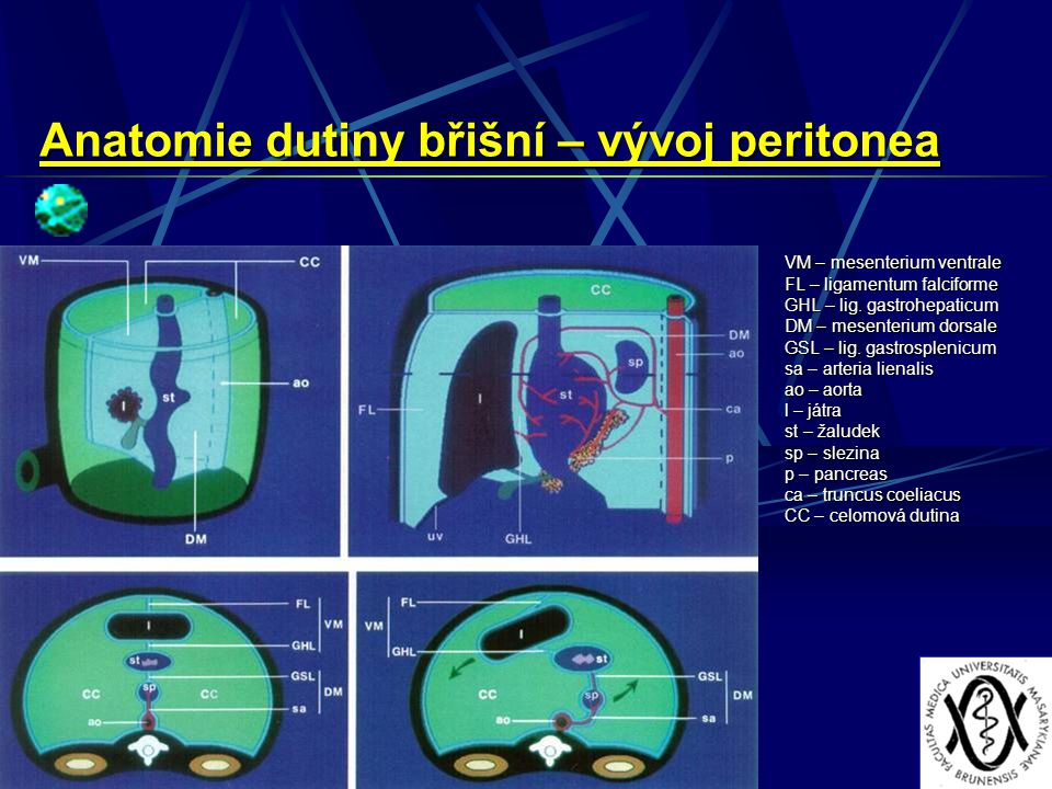 Anatomie dutiny břišní – vývoj peritonea VM – mesenterium ventrale FL – ligamentum falciforme GHL – lig. gastrohepaticum DM – mesenterium dorsale GSL