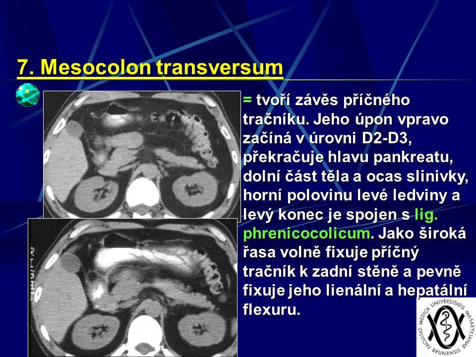 7. Mesocolon transversum = tvoří závěs příčného tračníku. Jeho úpon vpravo začíná v úrovni D2-D3, překračuje hlavu pankreatu, dolní část těla a ocas s