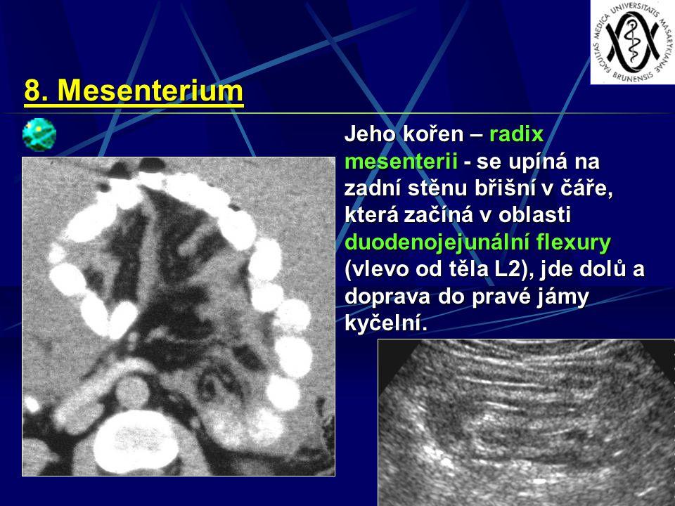 8. Mesenterium Jeho kořen – radix mesenterii - se upíná na zadní stěnu břišní v čáře, která začíná v oblasti duodenojejunální flexury (vlevo od těla L