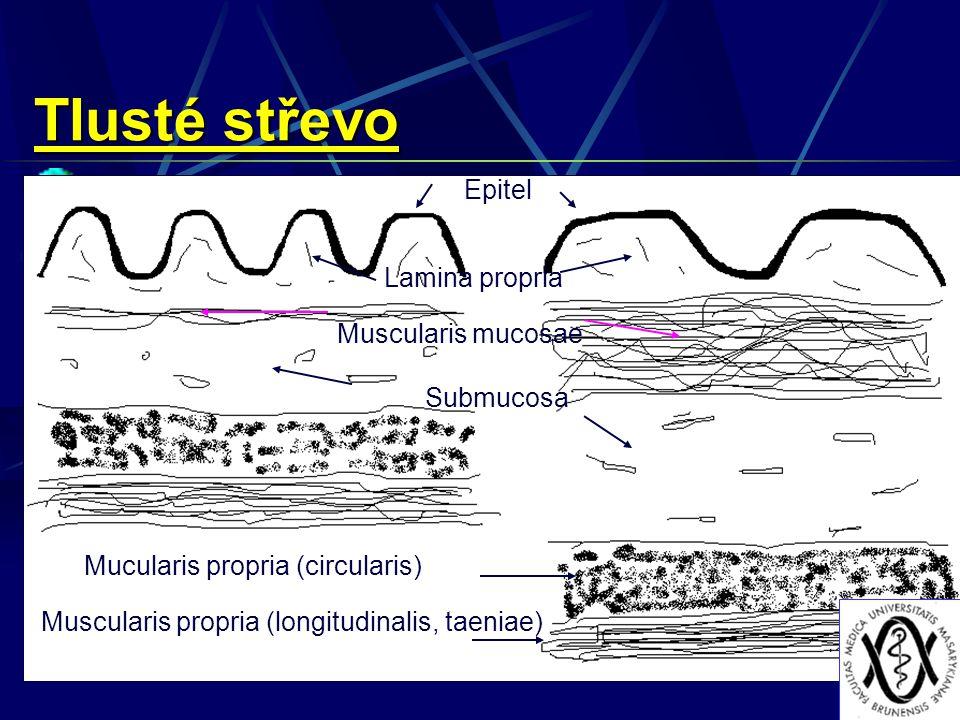 Epitel Lamina propria Muscularis mucosae Submucosa Muscularis propria (longitudinalis, taeniae) Mucularis propria (circularis) Tlusté střevo