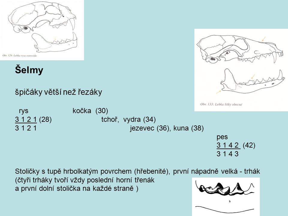 Šelmy špičáky větší než řezáky ryskočka (30) 3 1 2 1 (28) tchoř, vydra (34) 3 1 2 1jezevec (36), kuna (38) pes 3 1 4 2 (42) 3 1 4 3 Stoličky s tupě hr