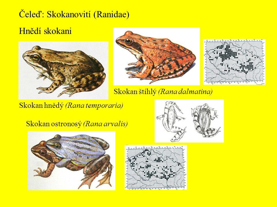 Čeleď: Skokanovití (Ranidae) Hnědí skokani Skokan hnědý (Rana temporaria) Skokan štíhlý (Rana dalmatina) Skokan ostronosý (Rana arvalis)