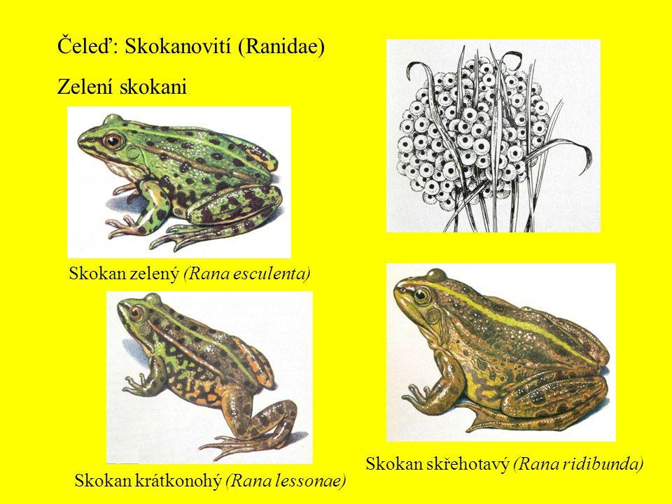 Čeleď: Skokanovití (Ranidae) Zelení skokani Skokan zelený (Rana esculenta) Skokan krátkonohý (Rana lessonae) Skokan skřehotavý (Rana ridibunda)