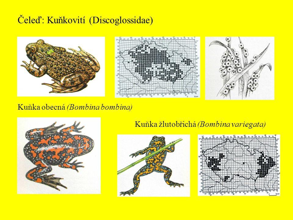 Čeleď: Kuňkovití (Discoglossidae) Kuňka obecná (Bombina bombina) Kuňka žlutobřichá (Bombina variegata)