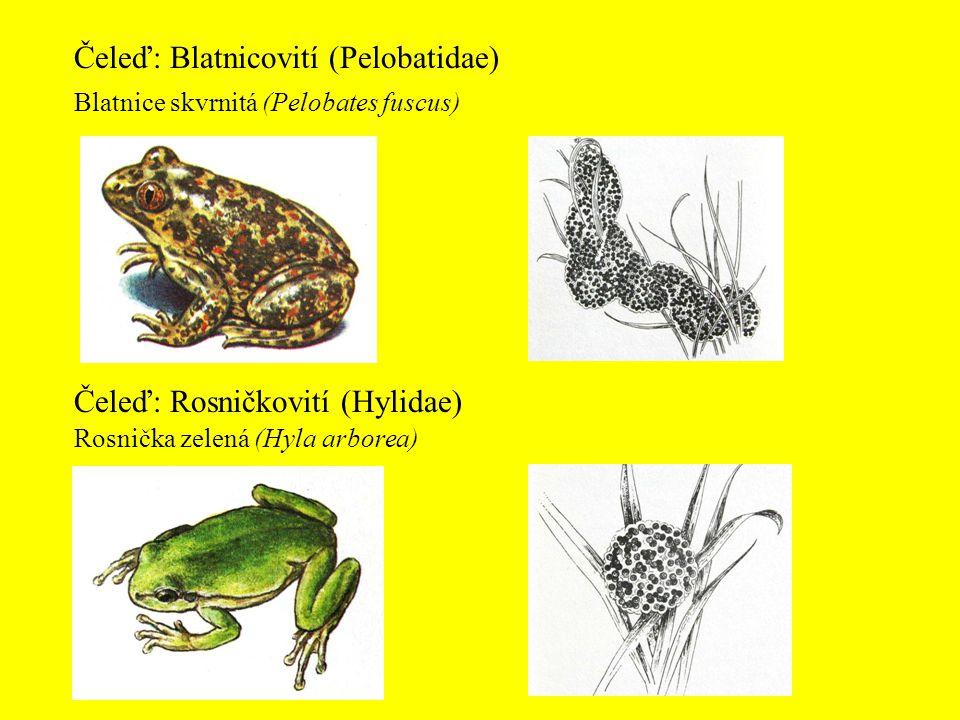 Čeleď: Blatnicovití (Pelobatidae) Čeleď: Rosničkovití (Hylidae) Blatnice skvrnitá (Pelobates fuscus) Rosnička zelená (Hyla arborea)