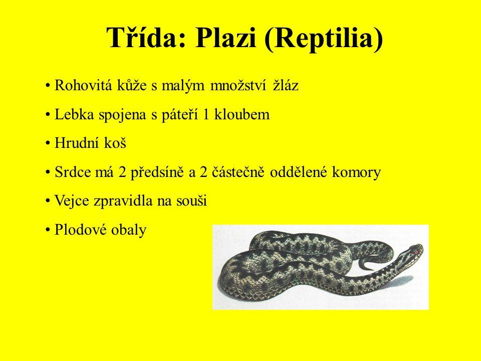Třída: Plazi (Reptilia) Rohovitá kůže s malým množství žláz Lebka spojena s páteří 1 kloubem Hrudní koš Srdce má 2 předsíně a 2 částečně oddělené komory Vejce zpravidla na souši Plodové obaly