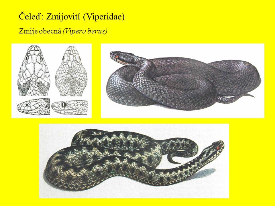 Čeleď: Zmijovití (Viperidae) Zmije obecná (Vipera berus)