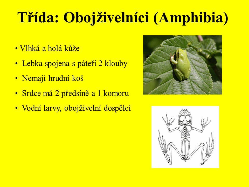 Třída: Obojživelníci (Amphibia) Vlhká a holá kůže Lebka spojena s páteří 2 klouby Nemají hrudní koš Srdce má 2 předsíně a 1 komoru Vodní larvy, obojživelní dospělci