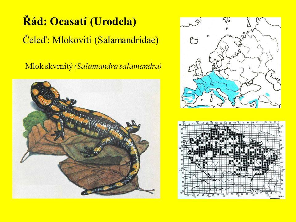 Řád: Ocasatí (Urodela) Čeleď: Mlokovití (Salamandridae) Mlok skvrnitý (Salamandra salamandra)