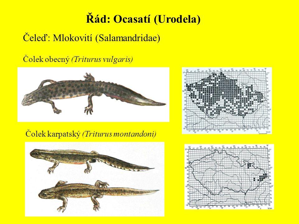 Řád: Ocasatí (Urodela) Čeleď: Mlokovití (Salamandridae) Čolek obecný (Triturus vulgaris) Čolek karpatský (Triturus montandoni)