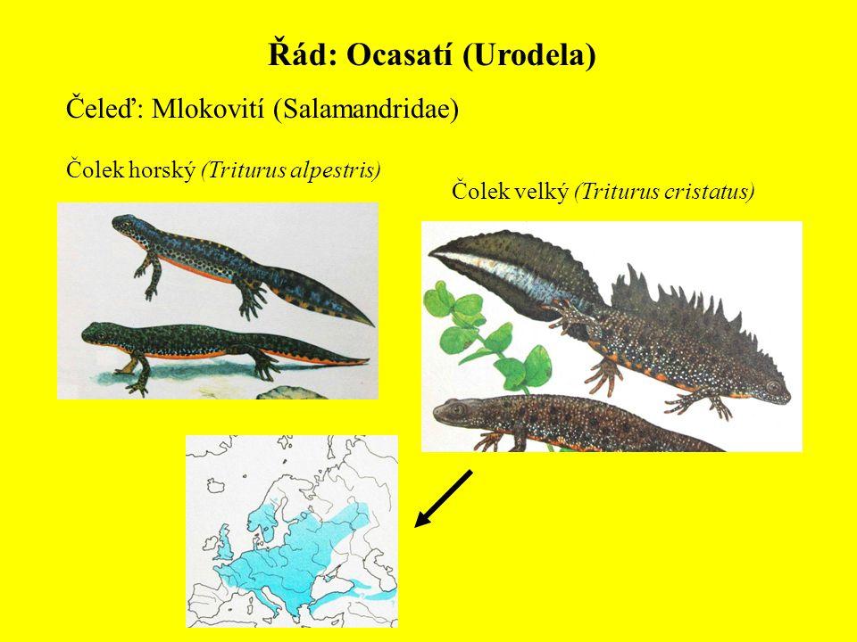 Řád: Ocasatí (Urodela) Čeleď: Mlokovití (Salamandridae) Čolek horský (Triturus alpestris) Čolek velký (Triturus cristatus)