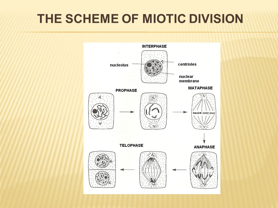 THE SCHEME OF MIOTIC DIVISION