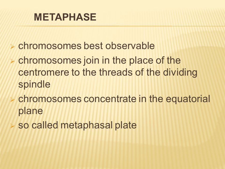  chromosomes best observable  chromosomes join in the place of the centromere to the threads of the dividing spindle  chromosomes concentrate in the equatorial plane  so called metaphasal plate METAPHASE
