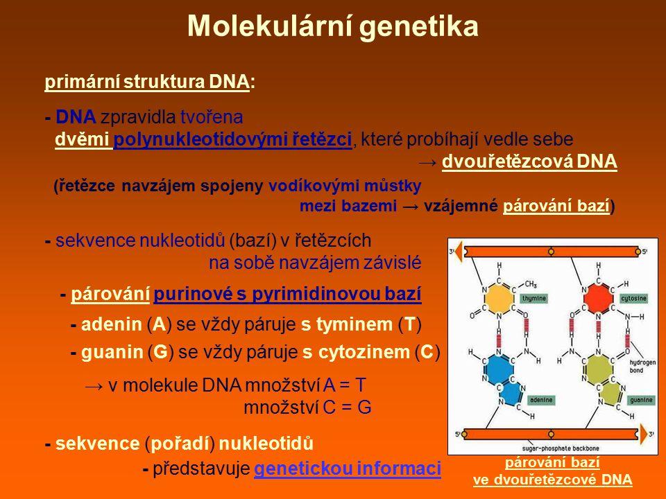 Molekulární genetika primární struktura DNA: - DNA zpravidla tvořena dvěmi polynukleotidovými řetězci, které probíhají vedle sebe → dvouřetězcová DNA (řetězce navzájem spojeny vodíkovými můstky mezi bazemi → vzájemné párování bazí) - sekvence nukleotidů (bazí) v řetězcích na sobě navzájem závislé - párování purinové s pyrimidinovou bazí - adenin (A) se vždy páruje s tyminem (T) - guanin (G) se vždy páruje s cytozinem (C) → v molekule DNA množství A = T množství C = G - sekvence (pořadí) nukleotidů - představuje genetickou informaci párování bazí ve dvouřetězcové DNA