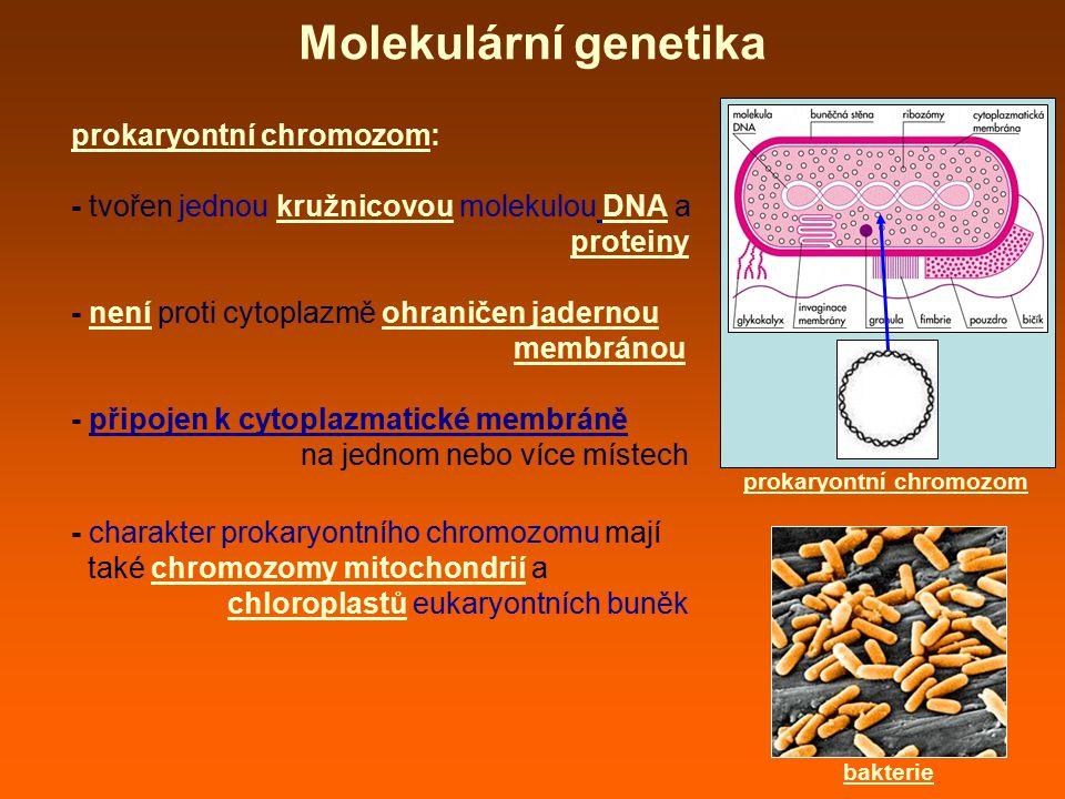 prokaryontní chromozom: - tvořen jednou kružnicovou molekulou DNA a proteiny - není proti cytoplazmě ohraničen jadernou membránou - připojen k cytopla