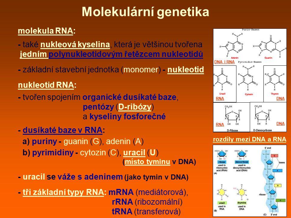 molekula RNA: - také nukleová kyselina, která je většinou tvořena jedním polynukleotidovým řetězcem nukleotidů - základní stavební jednotka (monomer)