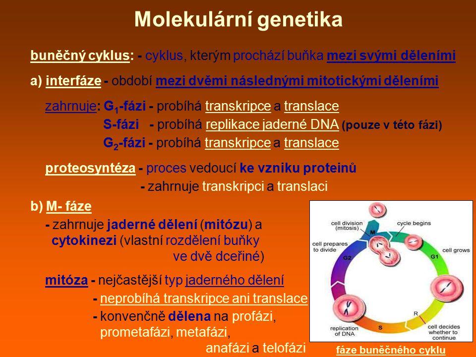 Molekulární genetika buněčný cyklus: - cyklus, kterým prochází buňka mezi svými děleními a) interfáze - období mezi dvěmi následnými mitotickými děleními zahrnuje: G 1 -fázi - probíhá transkripce a translace S-fázi - probíhá replikace jaderné DNA (pouze v této fázi) G 2 -fázi - probíhá transkripce a translace proteosyntéza - proces vedoucí ke vzniku proteinů - zahrnuje transkripci a translaci b) M- fáze - zahrnuje jaderné dělení (mitózu) a cytokinezi (vlastní rozdělení buňky ve dvě dceřiné) mitóza - nejčastější typ jaderného dělení - neprobíhá transkripce ani translace - konvenčně dělena na profázi, prometafázi, metafázi, anafázi a telofázi fáze buněčného cyklu