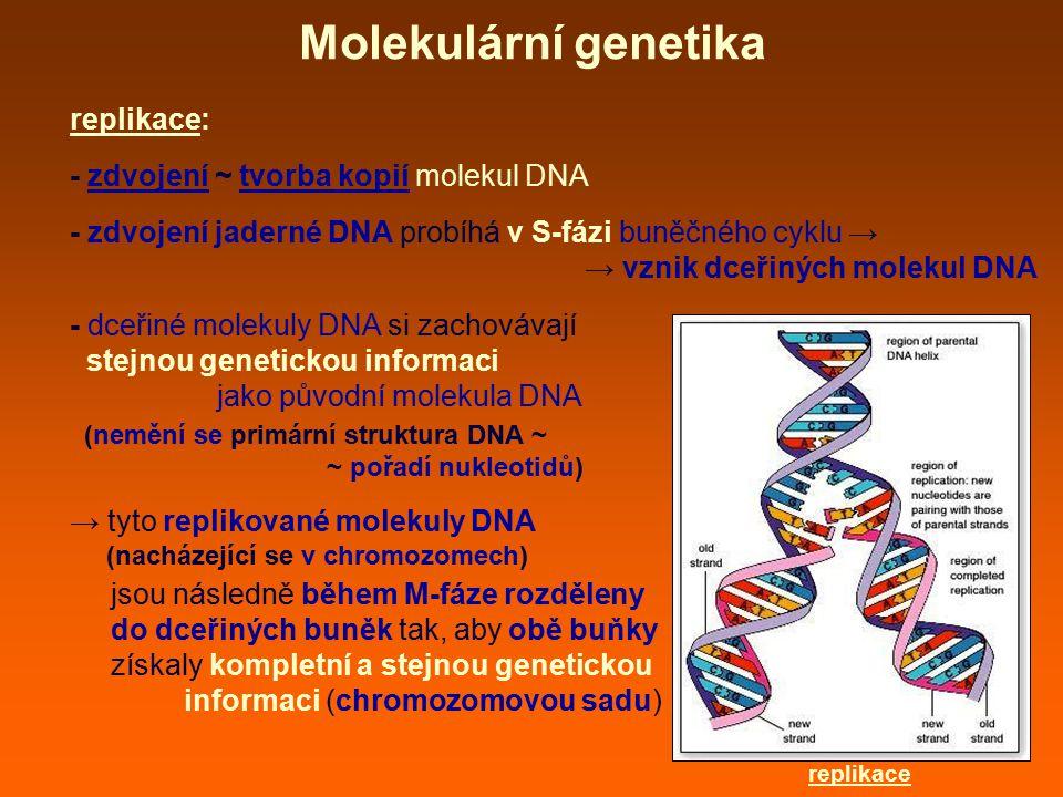 replikace: - zdvojení ~ tvorba kopií molekul DNA - zdvojení jaderné DNA probíhá v S-fázi buněčného cyklu → → vznik dceřiných molekul DNA - dceřiné mol