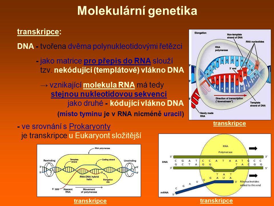 Molekulární genetika transkripce: DNA - tvořena dvěma polynukleotidovými řetězci - jako matrice pro přepis do RNA slouží tzv. nekódující (templátové)