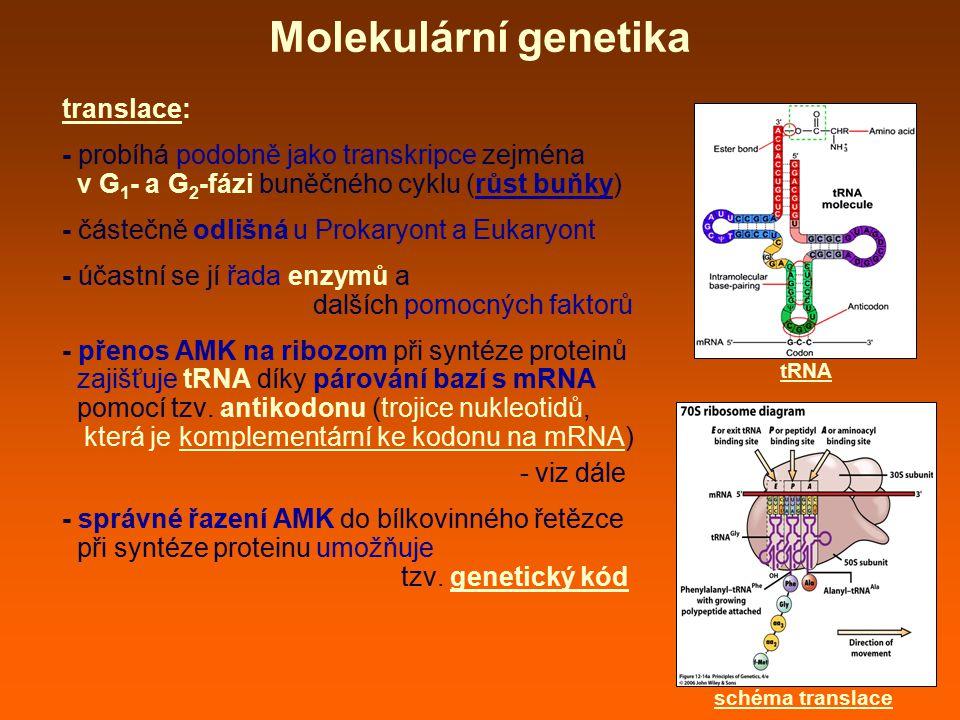 Molekulární genetika translace: - probíhá podobně jako transkripce zejména v G 1 - a G 2 -fázi buněčného cyklu (růst buňky) - částečně odlišná u Proka