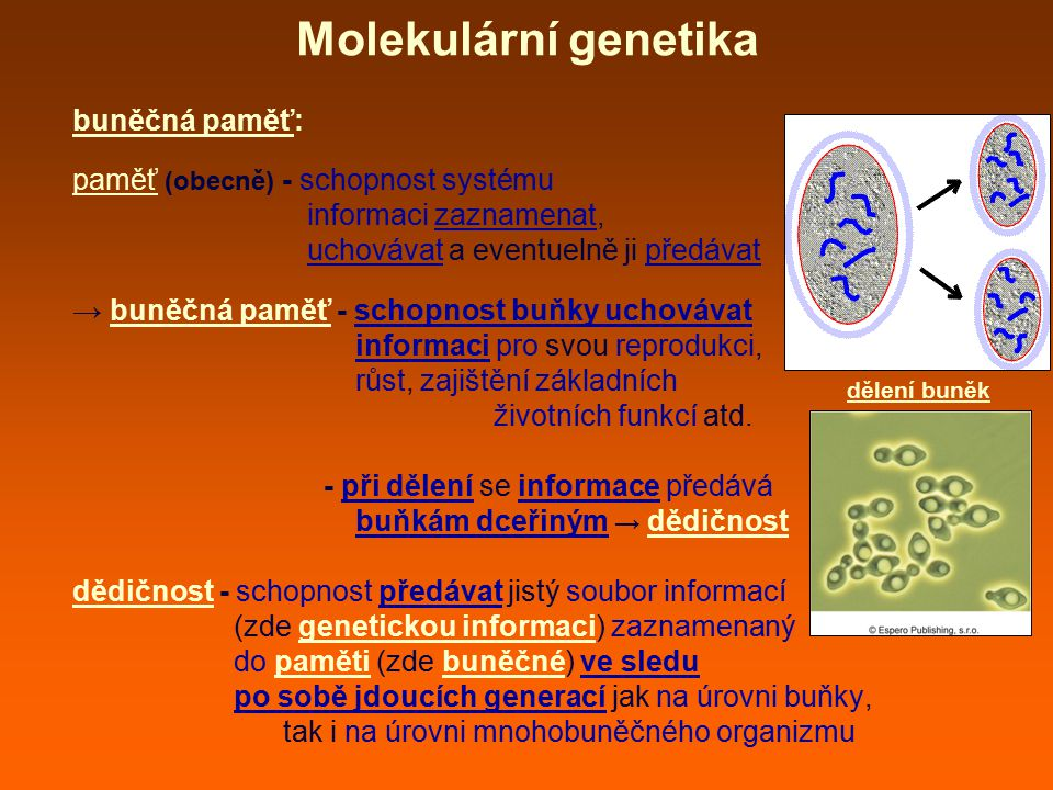 Molekulární genetika paměťový princip (paměťový systém) buňky: - zahrnuje vše co souvisí s buněčnou pamětí, tedy: - způsob kódování informace - vyzvedávání informace z paměti - doplňování informace - zdvojení či multiplikaci paměťového záznamu - jeden ze tří principů funkční organizace buňky - obecné principy, podle kterých jsou molekuly buňky uspořádány do funkčně strukturálních celků (další jsou membránový a cytoskeletální princip) - paměťový princip je znám nejdéle buňka má paměť chromozomy
