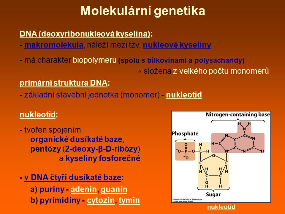 Molekulární genetika transkripce: DNA - tvořena dvěma polynukleotidovými řetězci - jako matrice pro přepis do RNA slouží tzv.
