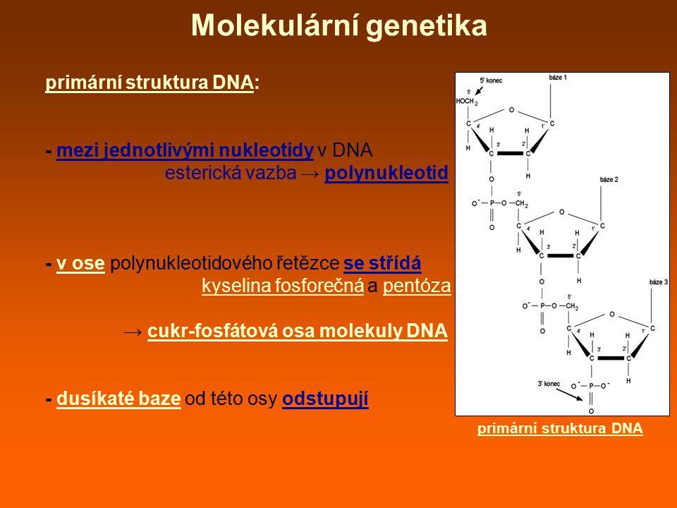 Molekulární genetika primární struktura DNA: - mezi jednotlivými nukleotidy v DNA esterická vazba → polynukleotid - v ose polynukleotidového řetězce se střídá kyselina fosforečná a pentóza → cukr-fosfátová osa molekuly DNA - dusíkaté baze od této osy odstupují primární struktura DNA