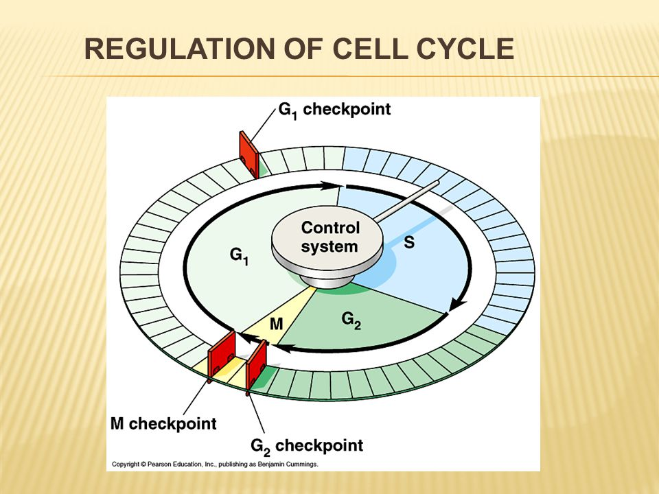 """ there are three of them: in the phases G1, G2, M  cells of mammals – the point in the G1 phase is obviously the most important  if the cell does not receive the signal """"Ahead in G1 phase, it can get into G 0 phase."""