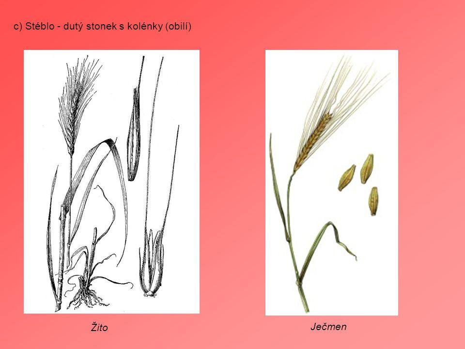 c) Stéblo - dutý stonek s kolénky (obilí) Žito Ječmen