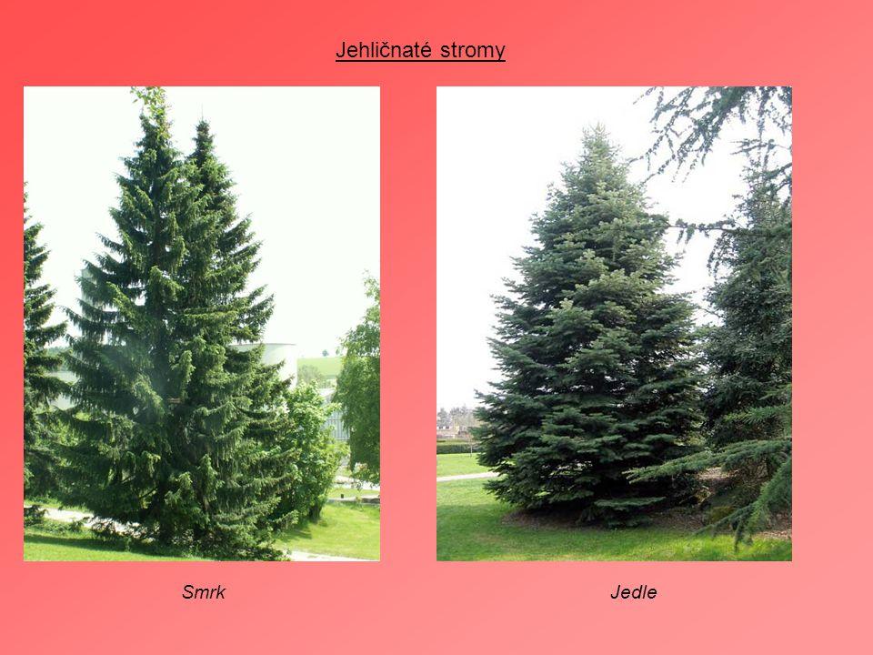 Jehličnaté stromy SmrkJedle