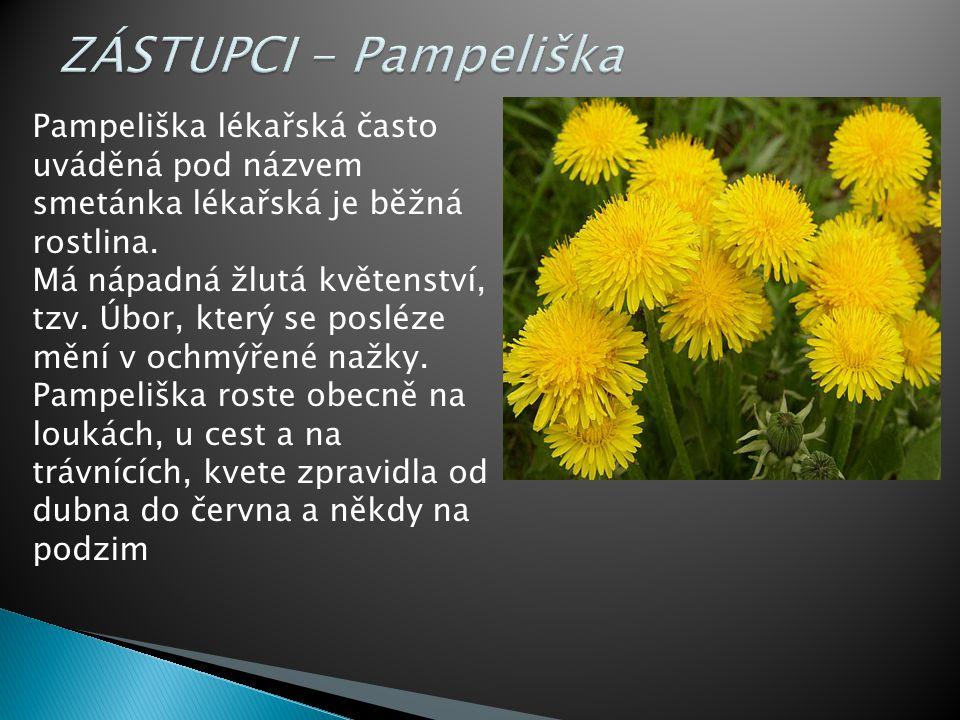 Pampeliška lékařská často uváděná pod názvem smetánka lékařská je běžná rostlina.