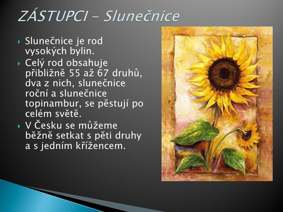  Slunečnice je rod vysokých bylin.