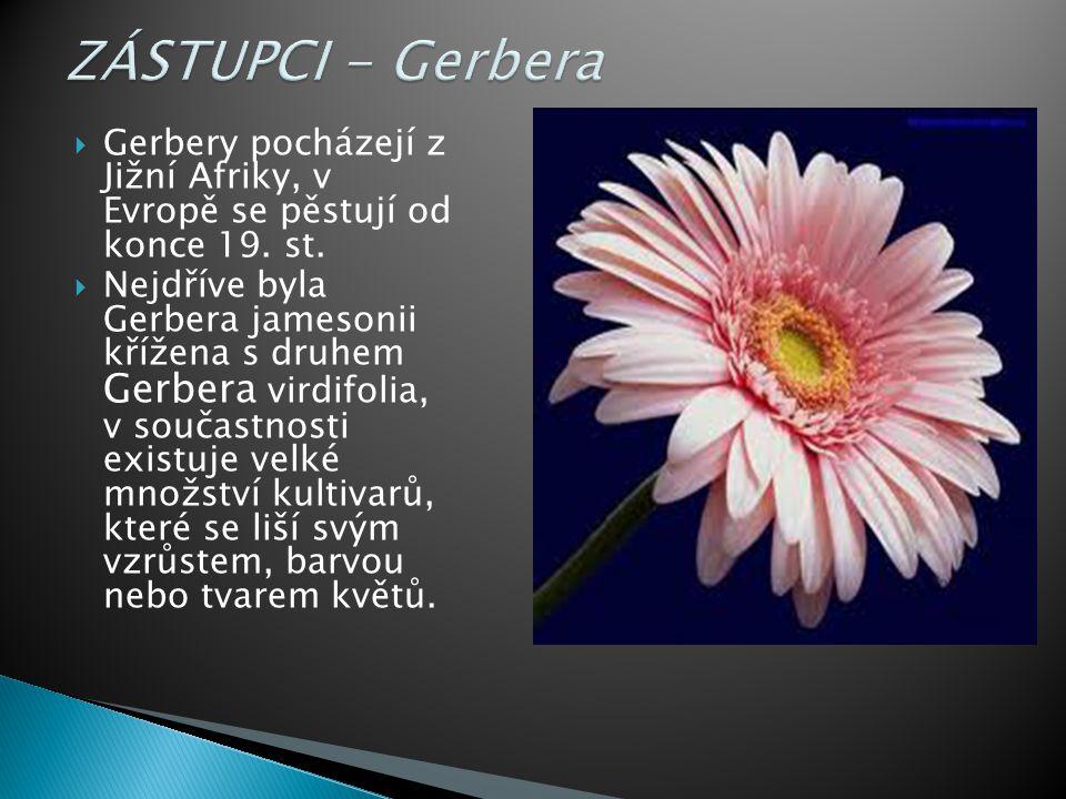  Gerbery pocházejí z Jižní Afriky, v Evropě se pěstují od konce 19.