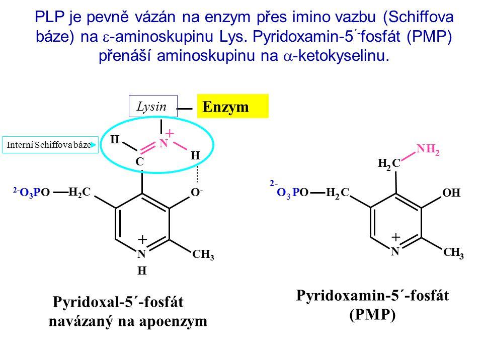N + OH CH 3 CH 2 NH 2 CH 2 OO 3 P + 2- Pyridoxamin-5´-fosfát (PMP) PLP je pevně vázán na enzym přes imino vazbu (Schiffova báze) na  -aminoskupinu Lys.