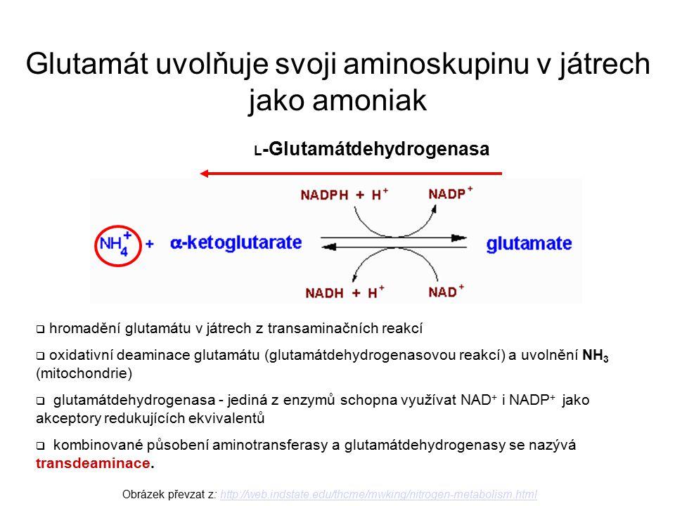 Obrázek převzat z: http://web.indstate.edu/thcme/mwking/nitrogen-metabolism.htmlhttp://web.indstate.edu/thcme/mwking/nitrogen-metabolism.html L -Glutamátdehydrogenasa  hromadění glutamátu v játrech z transaminačních reakcí  oxidativní deaminace glutamátu (glutamátdehydrogenasovou reakcí) a uvolnění NH 3 (mitochondrie)  glutamátdehydrogenasa - jediná z enzymů schopna využívat NAD + i NADP + jako akceptory redukujících ekvivalentů  kombinované působení aminotransferasy a glutamátdehydrogenasy se nazývá transdeaminace.