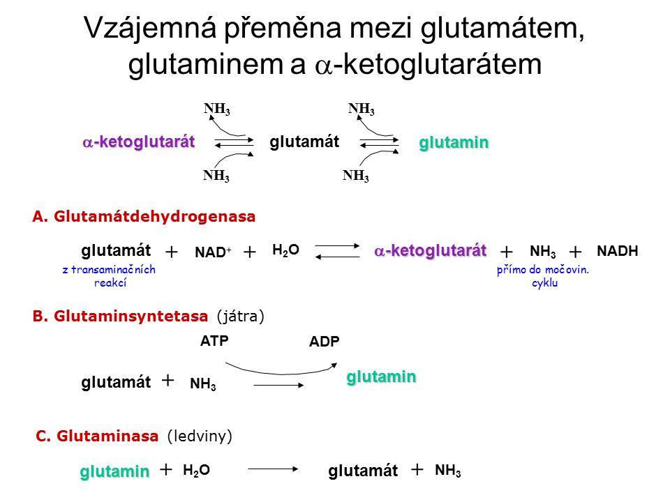 Vzájemná přeměna mezi glutamátem, glutaminem a  -ketoglutarátem  -ketoglutarát glutamát glutamin NH 3 glutamát + NAD + + H2OH2O  -ketoglutarát NH 3 ++ NADH glutamát NH 3 +glutamin ATP ADP glutamin H2OH2O + glutamát NH 3 + A.