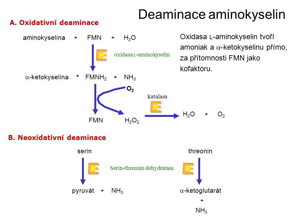 Deaminace aminokyselin aminokyselinaFMNH2OH2O ++  -ketokyselina FMNH 2 NH 3 oxidasa L -aminokyselin A.