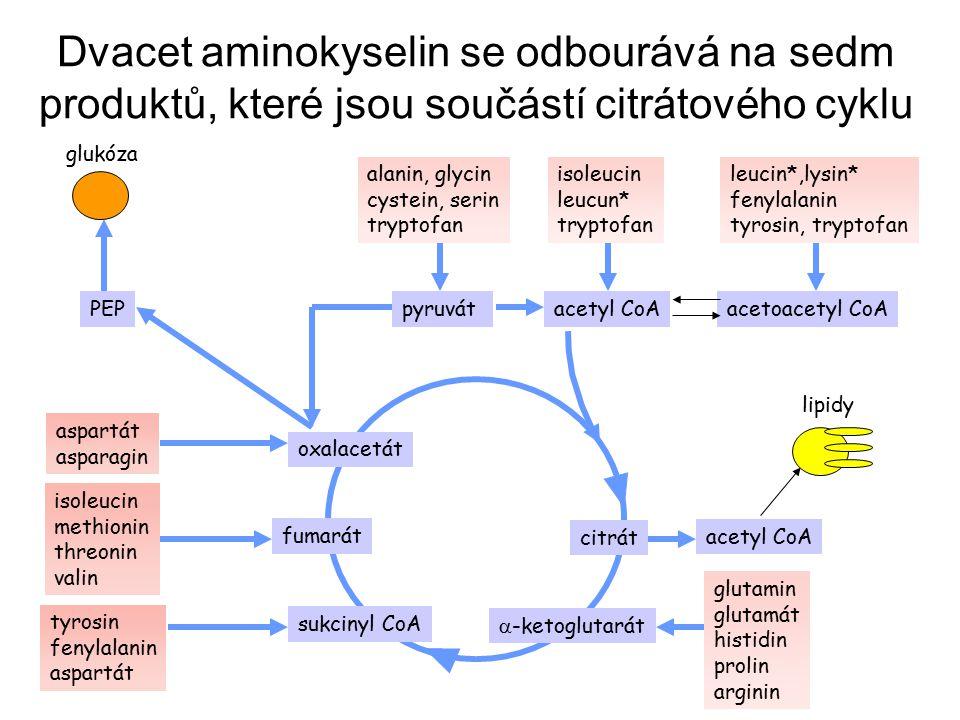 pyruvátacetyl CoA oxalacetát fumarát sukcinyl CoA acetoacetyl CoA  -ketoglutarát citrát PEP aspartát asparagin tyrosin fenylalanin aspartát isoleucin methionin threonin valin alanin, glycin cystein, serin tryptofan isoleucin leucun* tryptofan leucin*,lysin* fenylalanin tyrosin, tryptofan glukóza acetyl CoA lipidy glutamin glutamát histidin prolin arginin Dvacet aminokyselin se odbourává na sedm produktů, které jsou součástí citrátového cyklu