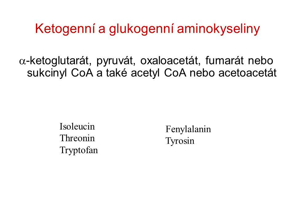 Ketogenní a glukogenní aminokyseliny  -ketoglutarát, pyruvát, oxaloacetát, fumarát nebo sukcinyl CoA a také acetyl CoA nebo acetoacetát Isoleucin Threonin Tryptofan Fenylalanin Tyrosin