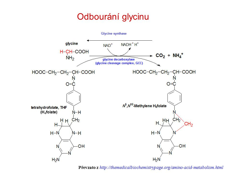 Odbourání glycinu Glycine synthase (H 4 folate) Převzato z http://themedicalbiochemistrypage.org/amino-acid-metabolism.html