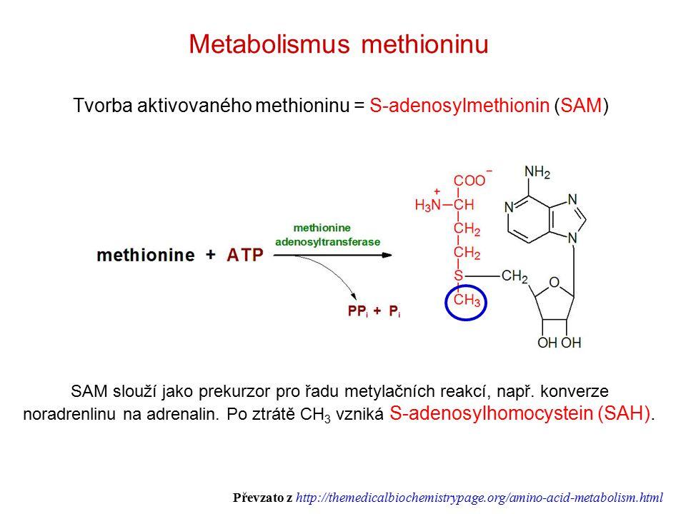 Tvorba aktivovaného methioninu = S-adenosylmethionin (SAM) Metabolismus methioninu SAM slouží jako prekurzor pro řadu metylačních reakcí, např.